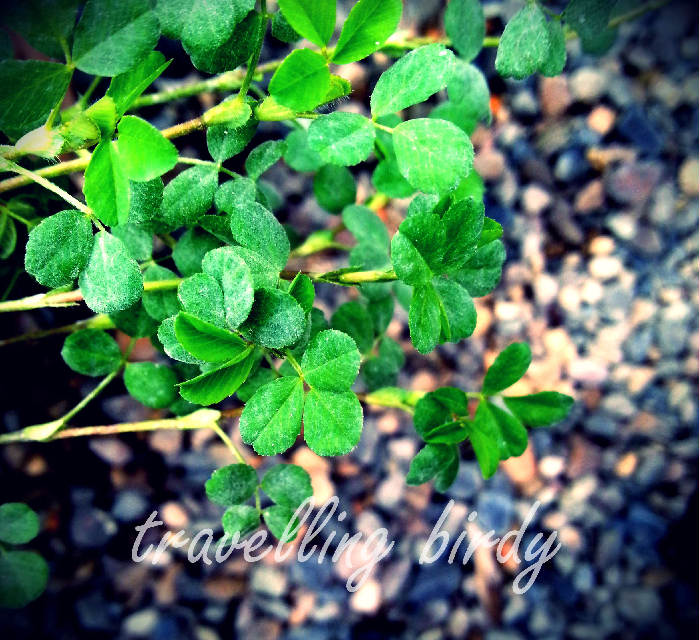 shamrock - the symbol of Ireland